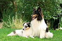 Sheltie and puppy on meadow
