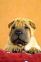 Shar Pei _ puppy _ portrait