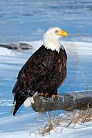 Bald eagle on tree trunk / Haliaeetus leucocephalus