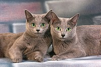 two Russian Blue _ lying