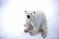 Polar Bear, Ursus maritimus, Thalassarctos maritimus, arctic