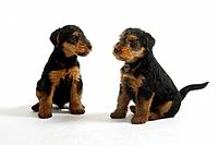 Welsh Terrier, puppies, 7 weeks