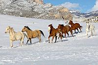 A herd of horses galloping through the snow mountain ranges of shell wyomingHerd of horses galloping acoss the winter landscape of Shell, Wyoming, Usa