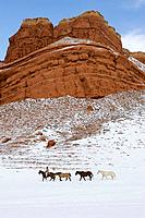 Cowgirl herding horses in winter Shell, Wyoming, Usa