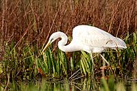 Great White Egret (Egretta alba), Doñana National Park. Andalucia, Spain