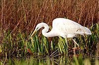 Great White Egret (Egretta alba), Doñana National Park. Andalucia, Spain