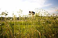 Cyclist riding bicycle seen through oat field (thumbnail)
