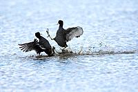 Coot, fulica atra, swimming in coastal scrape with nest material, Norfolk, UK, April