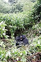 A mountain gorilla crying can be heard at 800 meters Here in the Bwindi forest Rwanda