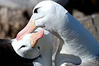 Black-browed Albatross (Diomedea melanophris) adult pair preening behaviour. West Point Island, Falkland Islands