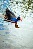 Pukeko Bird swimming calmly in Hamilton Lake, New Zealand