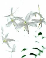 Jasmine flowers family Oleaceae