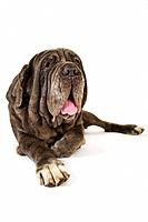Neapolitan mastiff lying down in studio