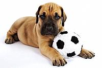 Great Dane puppy with toy soccer ball