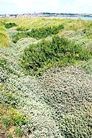 Coastal vegetation. Shrubby seabite Suaeda vera, green and sea purslane Atriplex portulacoides, grey in a coastal habitat. These plants are halophytic...