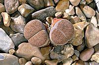 Living stone plant Lithops lesliei var. mariae.