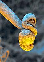 Horse mint filament. Coloured scanning electron micrograph SEM of the filament from a horse mint flower Mentha longifolia. The filaments and their pol...