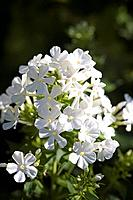 Phlox flowers Phlox paniculata ´Fujiyama´.