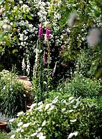 Cottage garden in summer. The flowers seen here include: foxglove flowers Digitalis purpurea, pink and white, centre rose Rosa ´Rambling Rector´, whit...