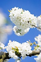 White cherry blossom against blue sky