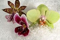 three orchid flowers in artificial snow Studio_shot in 74635 Kupferzell Germany with EOS 5D