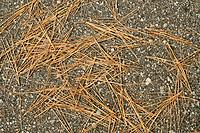 Dry pine needles on a cement trail background.