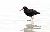 Blackish oystercatcher Haematopus ater. This bird, which grows to lengths of 43 centimetres, inhabits rocky shorelines. It feeds mainly on shellfish. ...