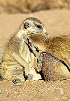 Meerkats Suricata suricatta, grooming each other. This social activity helps to remove parasites and keep the coat in good condition. Meerkats, also k...
