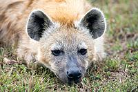 Spotted hyena Crocuta crocuta. Also known as the laughing hyena, it is primarily a pack hunting predator living in groups of up to forty individuals o...