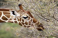 Reticulated giraffe Giraffa camelopardalis reticulata feeding. The giraffe is the tallest living land animal. It can grow to a height of 5.5 metres an...