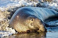 Bull Elephant Seal on San Simeon Beach, California, USA