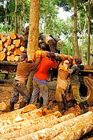 Mahogany trees and workers, Mahogany plantation, Panama province, Panama, C.A. 2006