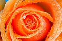 Orange rose with dew
