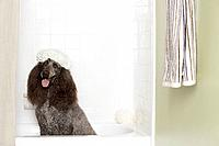 Standard poodle having a bath