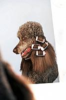Standard poodle with curlers