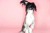 Alert Chinese crested dog