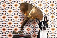 Boston terrier listening to gramophone