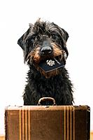Labradoodle holding a passport