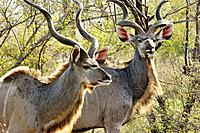 Kudu males, Kruger National Park, South Africa