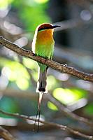 Boehm's Bee-eater in backlight, Malawi