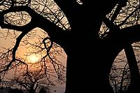 African baobab tree with sunset, Malawi
