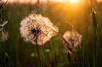 Dandelion flowers gone to seed in sunset. Ontario, Canada