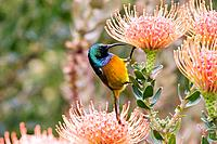 Male Orange-breasted Sunbird on a Protea flower, Table Mountain, Cape Town area, South Africa