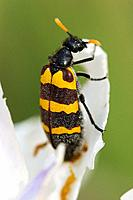 Black Yellow Striped African Blister Beetle feeding on a flower