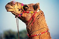 India, Camel at Pushkar Camel Fair