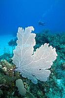 Caribbean Sea, Cayman Islands, Little Cayman Island, Bloody Bay Wall, scuba diver swimming near coral reef