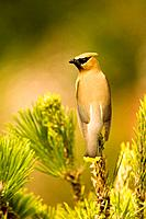 Cedar Waxwing (Bombycilla cedrorum). Coos Bay, Oregon, USA