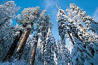 USA, California, Sequoia National Park in winter, low angle view of trees