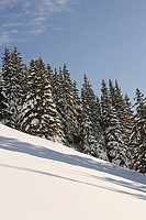 Fir trees on a ski slope