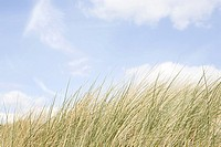 Marram grass and sky